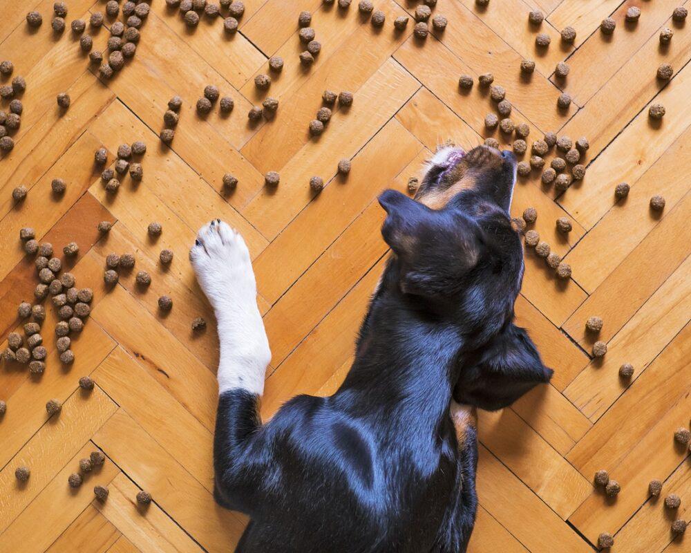 A dog eating dry dog food
